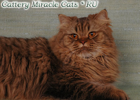 Питомник miracle cats annabelle red rose miracle cats ru