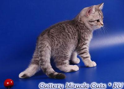 Dalberg Miracle Cats. Фото британский котёнок окрас чёрный серебристый мраморный (ns 22), продажа британских котят в Москве.