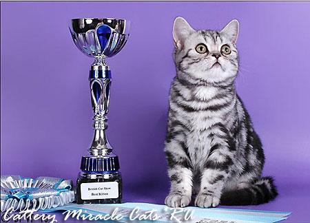 Британская короткошерстная - плюшевый мишка с улыбкой Чеширского кота | 324x450