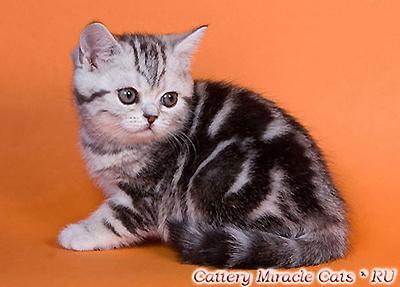 Glinora Miracle Cats. Фото британский котёнок окрас чёрный серебристый мраморный (ns 22), продажа британских котят в Москве.