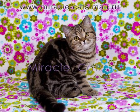 8(916)173-7752 купить британского, шотландского котенка в ...