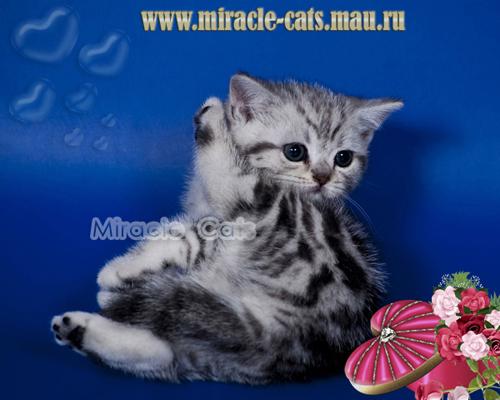 фото британских полосатых и пятнистых котят #5