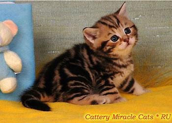 Купит недорого британского кота